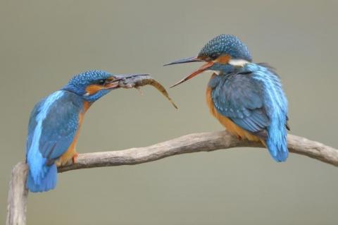 NABU und LBV starten Hauptwahl des Vogels des Jahres