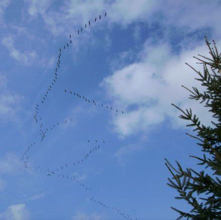 Kraniche ziehen über den Westerwald. Foto: SGD Nord