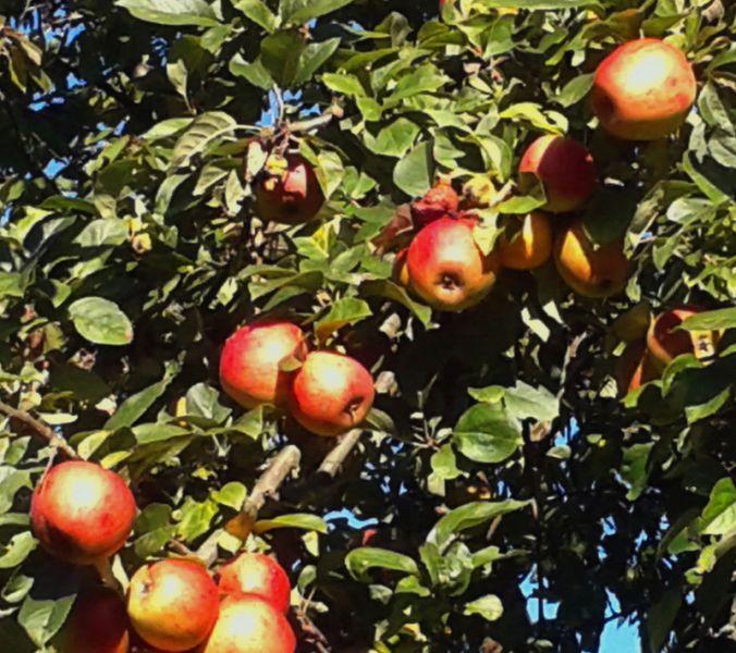 Saft aus eigenen Äpfeln in Bad Marienberg