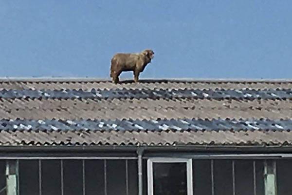Wie kam das Schaf auf das Dach?