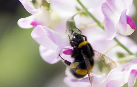 Bienen, Hummeln und Hornissen sind besonders geschützt