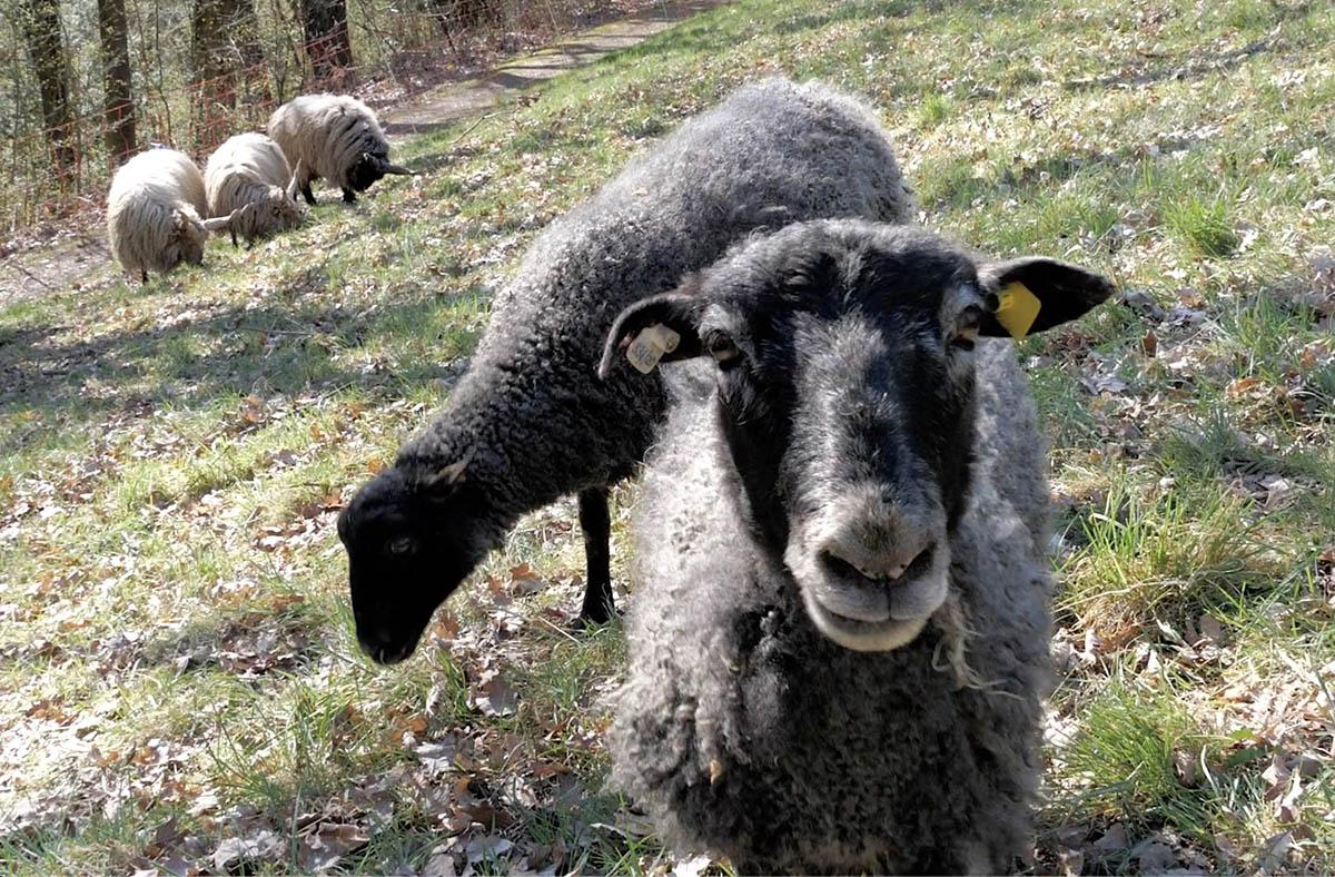 Vierbeinige Helfer für Artenschutz: SBN lassen Schafe auf Weide