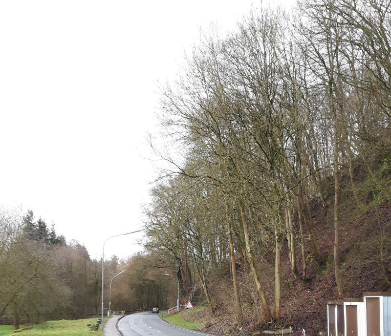 Sperrung Wirzenborner Straße wegen Baumfällarbeiten
