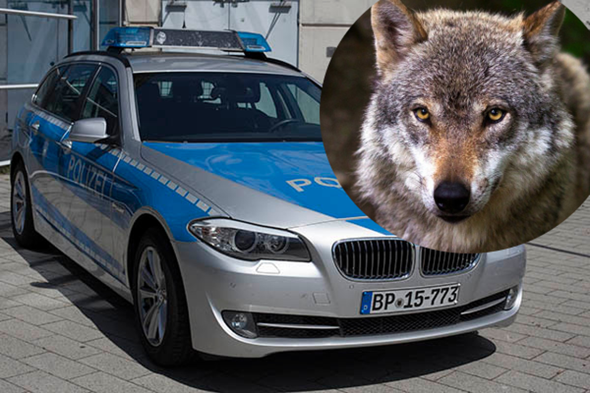 Bei Altenkirchen hat ein Wolf die Kollision mit einem Auto nicht überlebt. (Symbolfoto)