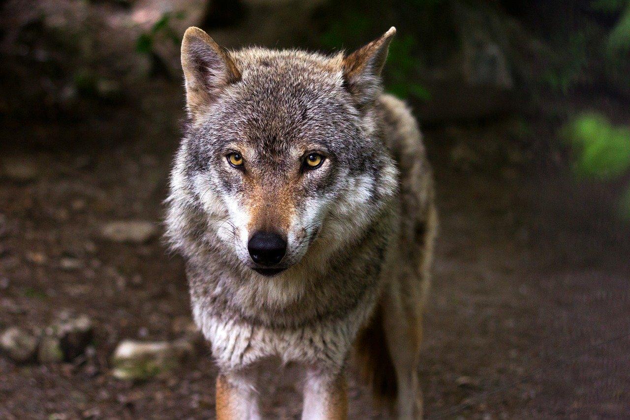 Schafsrisse in der VG Altenkirchen-Flammersfeld: Wolfsnachsweise bestätigt
