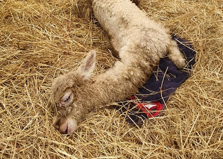 Drama in Windeck: Alpaka in Stall geworfen – Fohlen stirbt