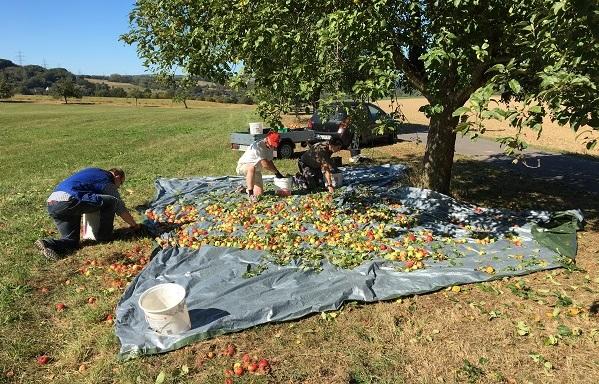 Gemeinsame Apfelernte in Pracht erfolgreich abgeschlossen