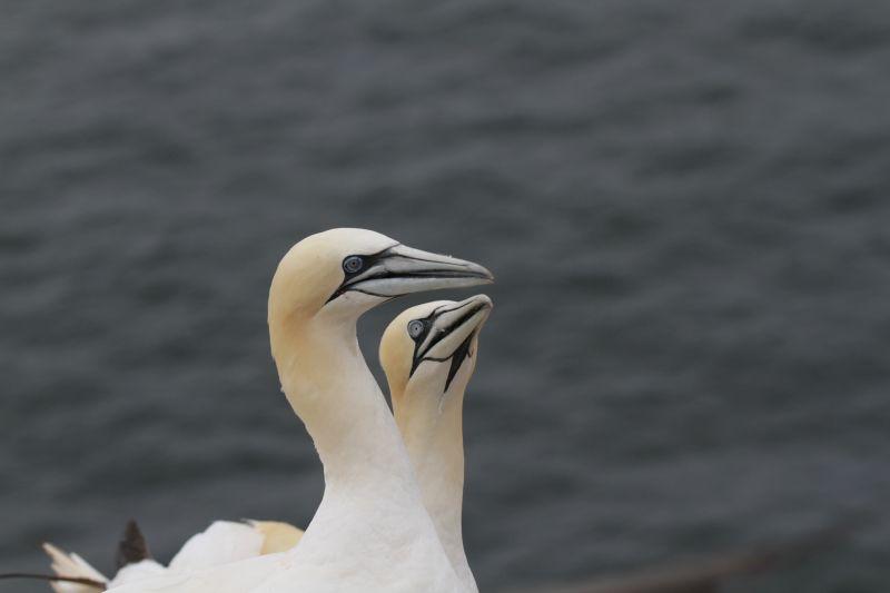 Vortrag des NABU Rennerod: Im Wind auf Helgoland