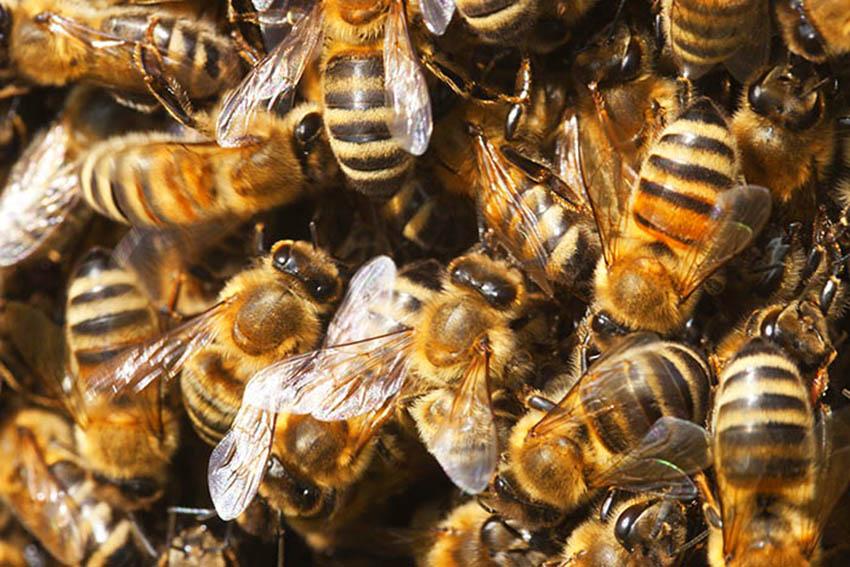 Symbolfoto: Honigbienen