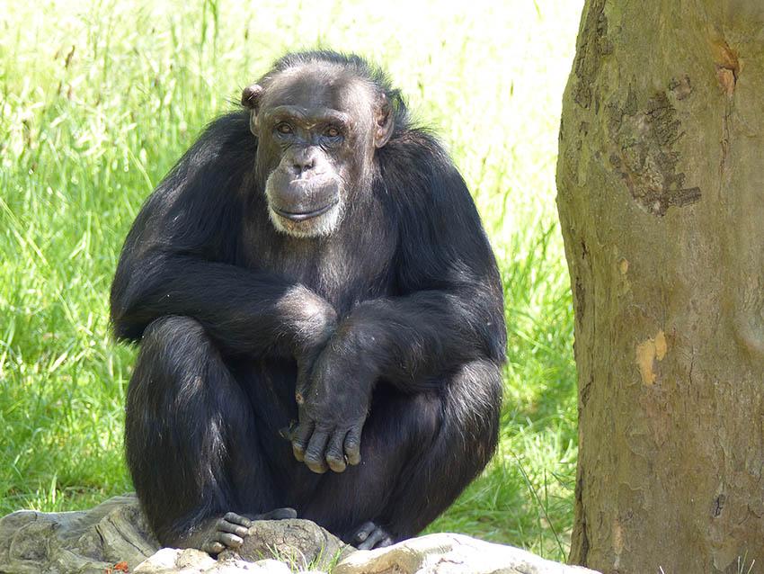Schimpansengruppe im Zoo Neuwied erhält Verstärkung