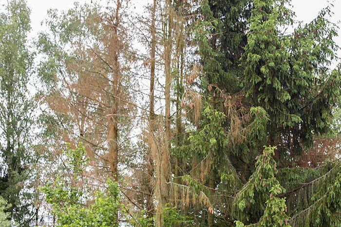 Haiderbach-Gemeinden reagieren auf Borkenkäferkalamität