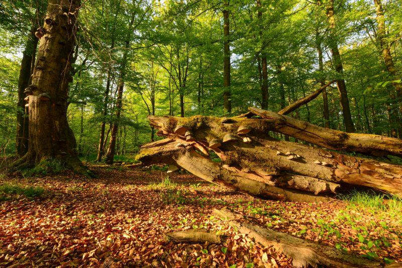 Wertvoller Buchenwald mit Alt- und Totholz im NNE Stegskopf. Fotos: Harry Neumann/NI