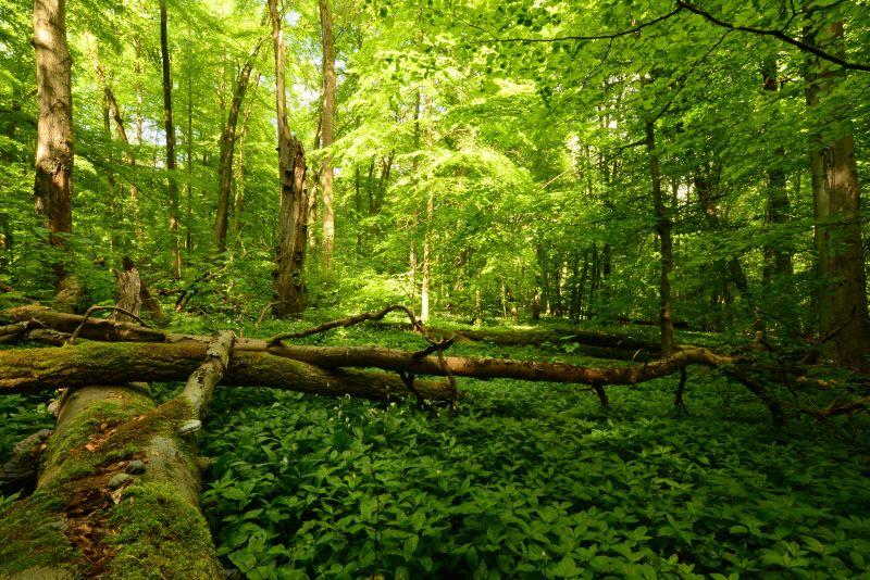 Naturnaher Laubmischwald mit Totholz, Altholz und Naturverjüngung. Foto: Harry Neumann/NI