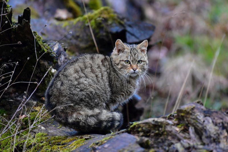 Auf den Spuren der Wildkatze im Westerwald