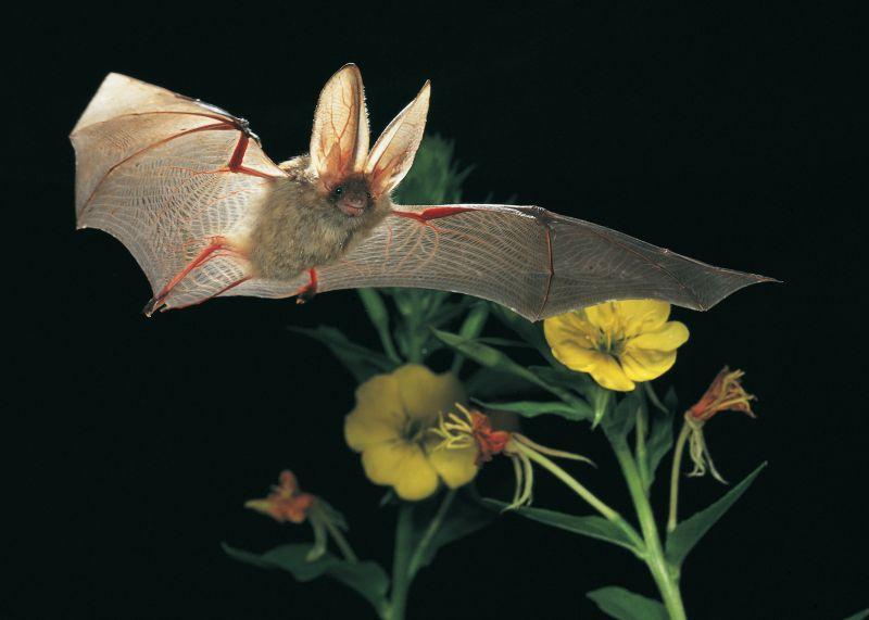 Ruhe bewahren bei Fledermauseinflügen in Wohnungen und Büros