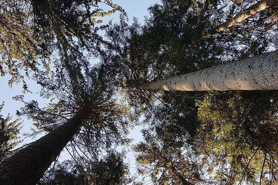 Die grünen Kronen von scheinbar gesunden Fichten… Fotos: Frank Krause