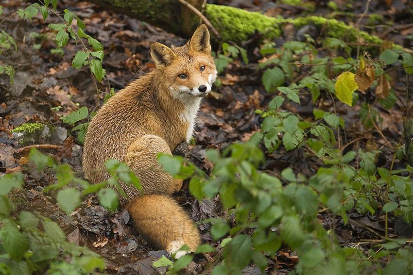Fuchsjagd ja oder nein - Die Meinungen gehen weit auseinander