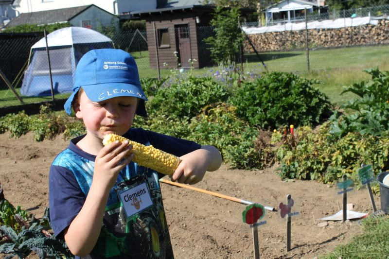 Zwiebeln, Möhren, Gurken - Kita-Kids ernten auf dem eigenen Acker