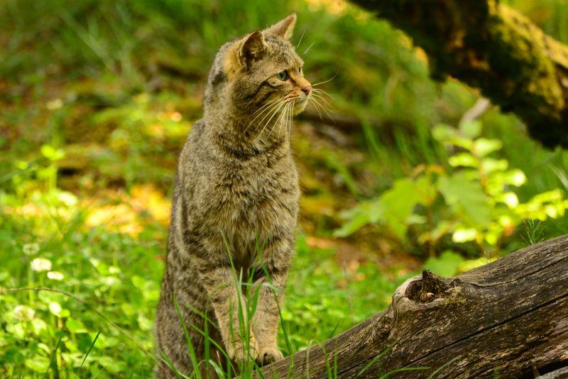 Europäisches Wildkatzen-Symposium