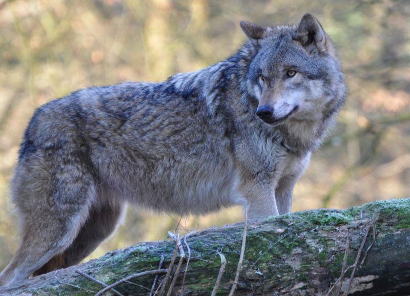 Landesjagdverband ist beim Wolf auf der falschen Fährte