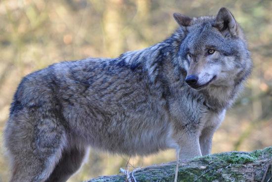 Mitte Mai vergangenen Jahres konnte erstmalig anhand von Fotos ein Wolf vor Ort nachgewiesen werden. Ein Foto vom Dezember 2018 gilt nun ebenfalls als Nachweis. (Symbolfoto: Naturschutzinitiative e.V./NI)