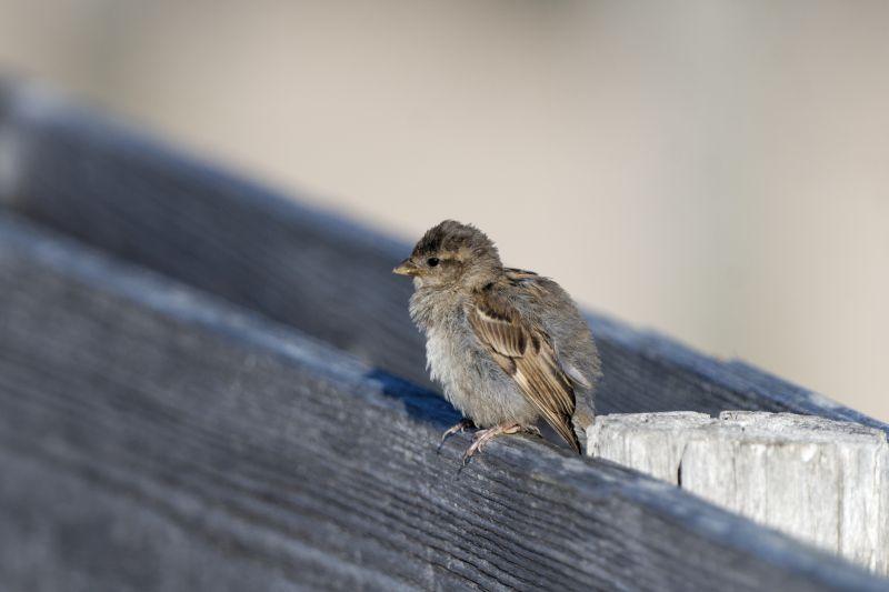 Was tun beim Jungvogelfund?