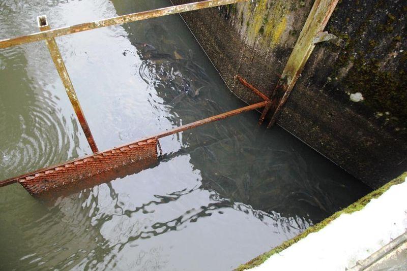 Fische im Wiesensee suchen Schutz im Überlaufbauwerk
