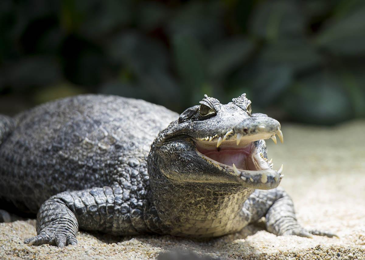 Haben Krokodilen ein Imageproblem?