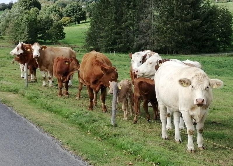 Normalität beim Blick auf die landwirtschaftlich genutzten Flächen im AK-Land: Kühe & Co. genießen die letzten September-Tage im Freien. (Foto: hak)