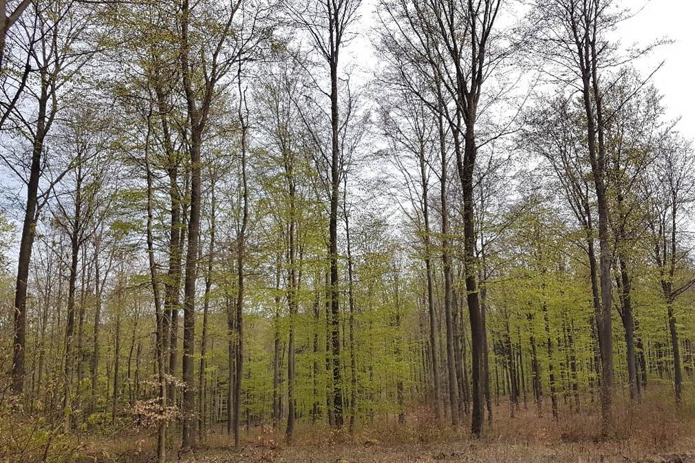 Neues aus dem Wald - Verzögerung beim Laubaustrieb