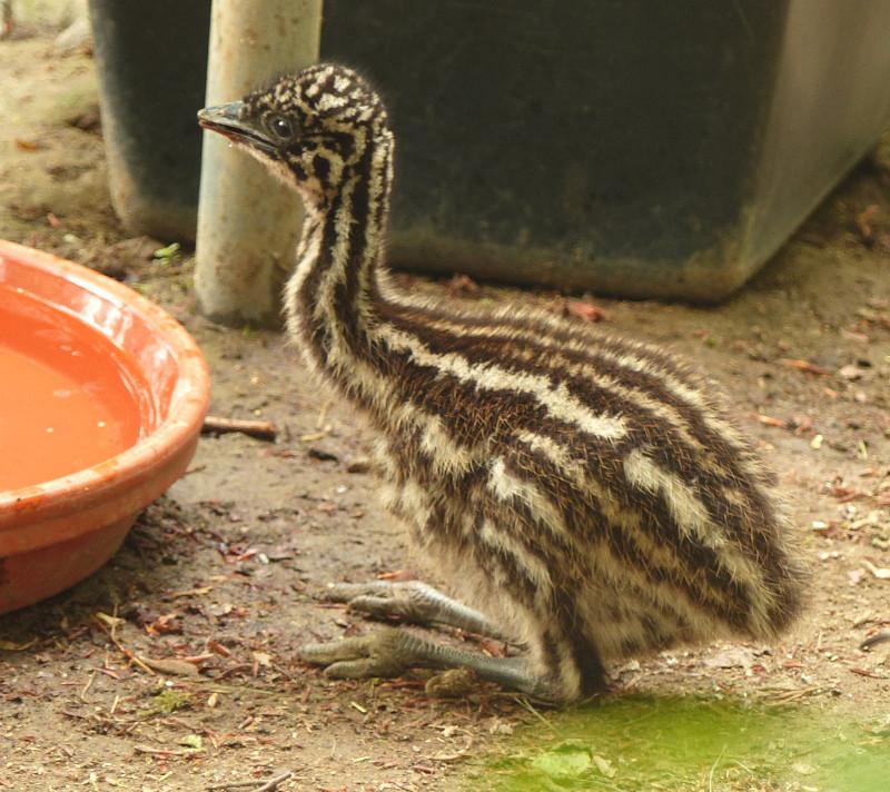 Im Neuwieder Zoo sind Emu-Küken unterwegs. Foto: Zoo Neuwied