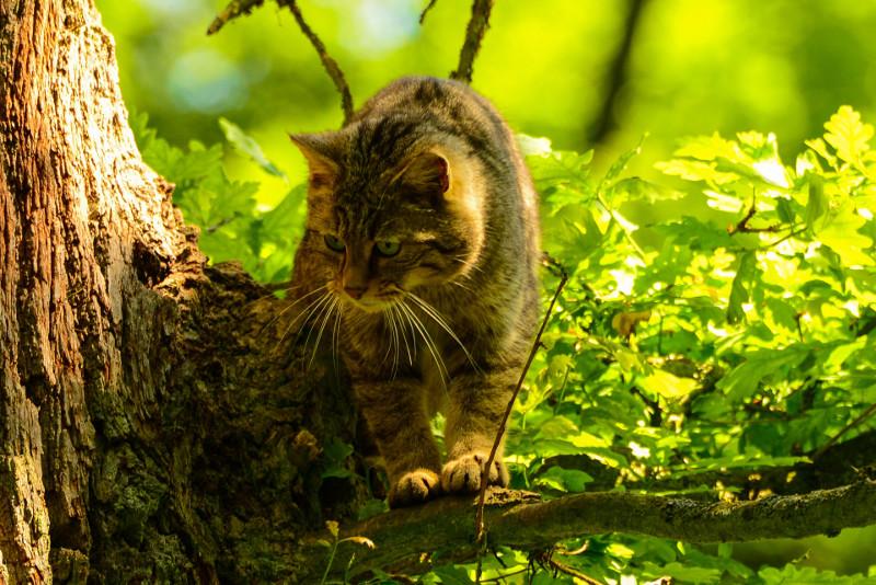 """""""Auf den Spuren der Wildkatze"""" durch den Naturpark"""