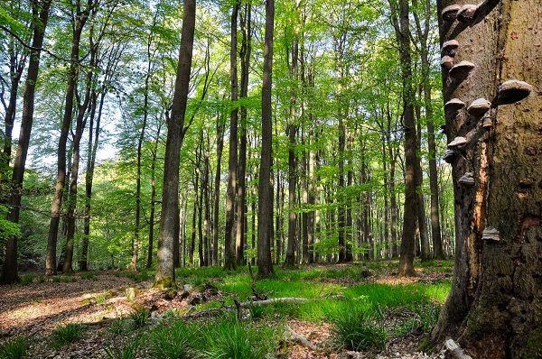 Alter Waldbestand auf dem Nauberg. Foto: NI