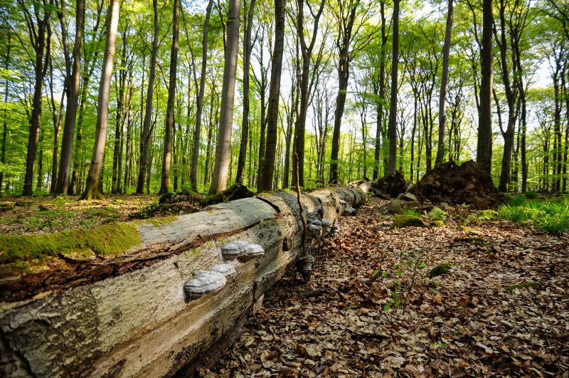 Totholz ist Leben: Abgestorbene Rotbuche (liegendes Totholz) im Naturwaldreservat Nauberg. Fotos: Harry Neumann/NI