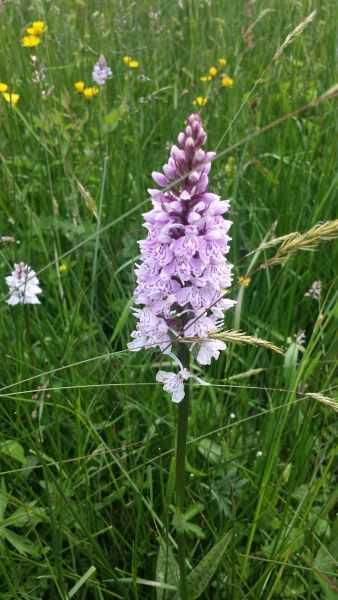 Mit dem NABU die heimische Orchideenvielfalt entdecken