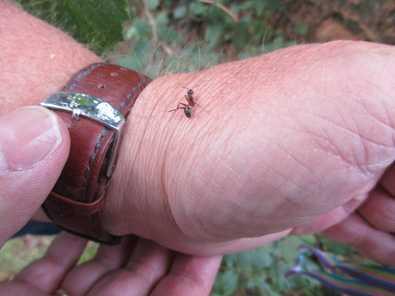 Holzameisen im Giebelwald entdeckt