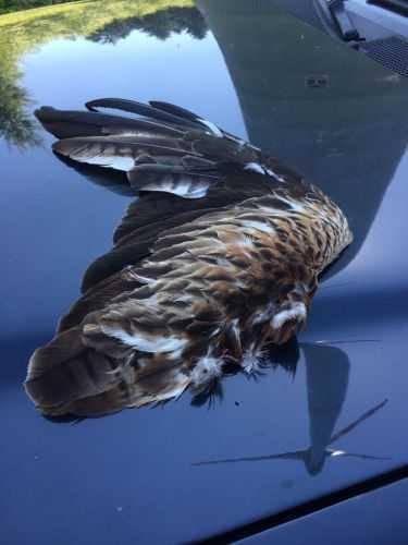 Erneut toter Rotmilan unter Windenergieanlage im Westerwald