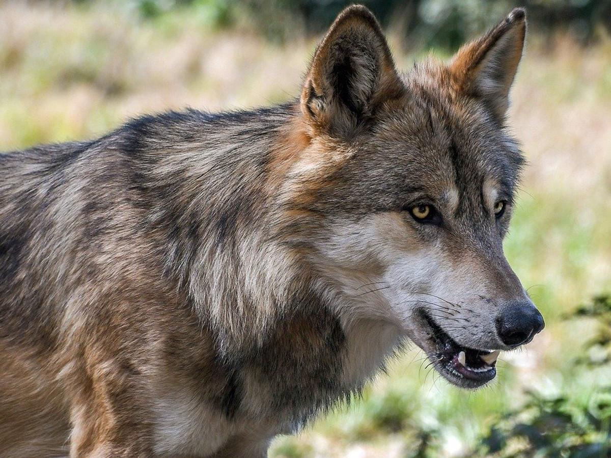 Rettersen: Wolf dringt in ein Damwildgehege ein