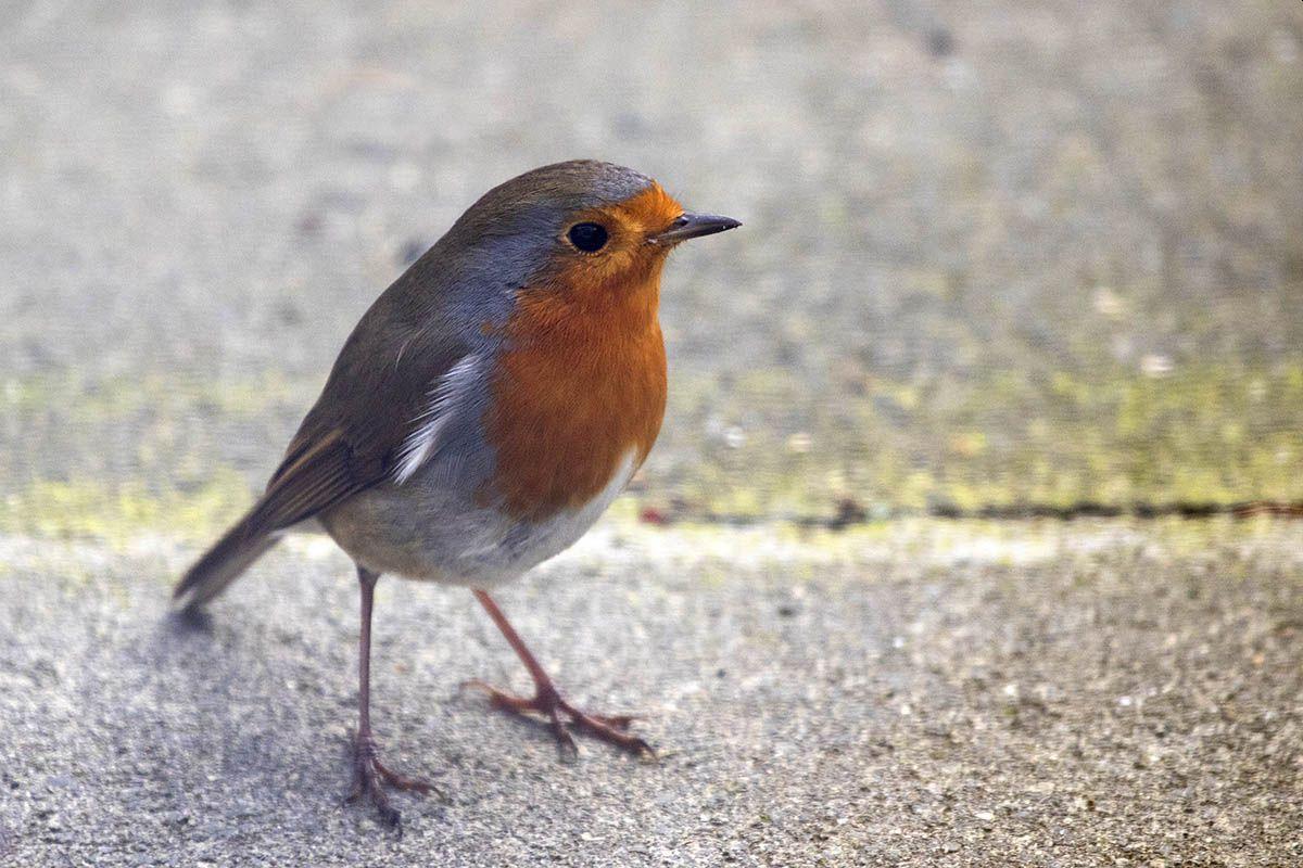 NABU: Endergebnis der Vogelzählung liegt vor