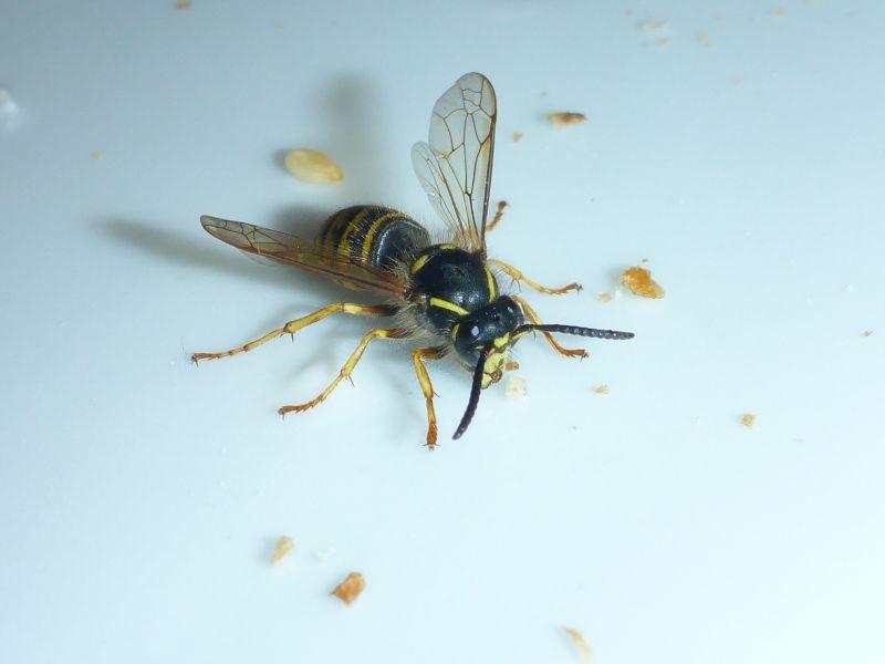 SGD Nord: Wespen fliegen jetzt wieder auf Süßes und Herzhaftes