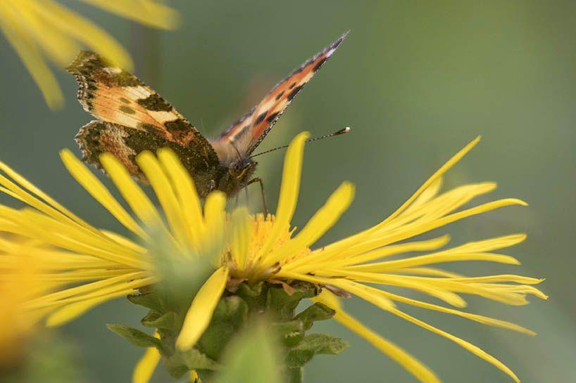 Schmetterlinge in Nöten