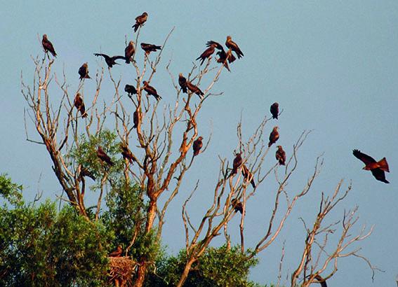 Schwarzmilane sammeln sich im Schutzgebiet