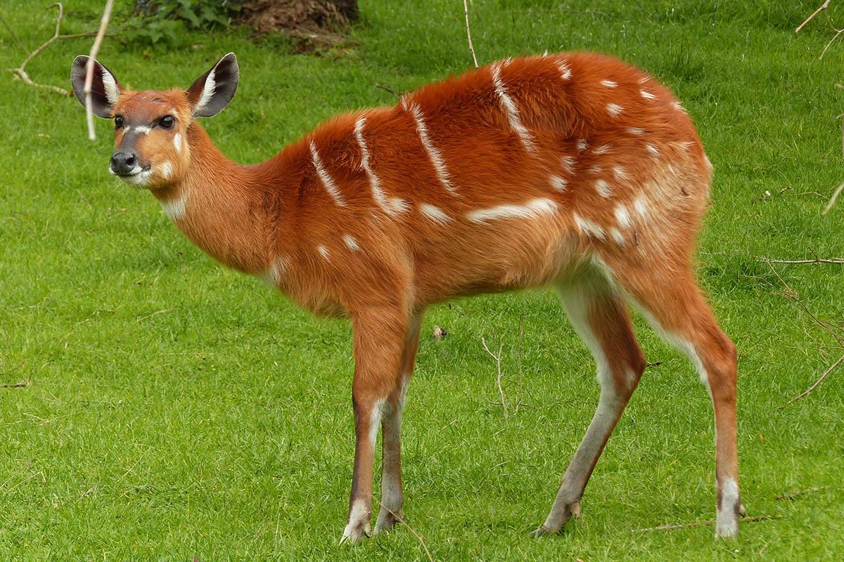 Sitatungas: Kein Reh, sondern eine Antilope
