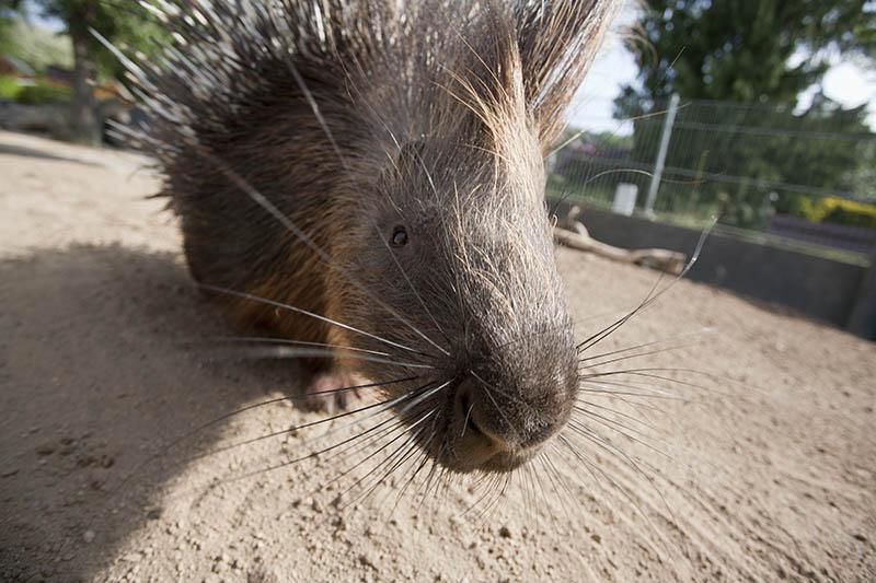 Ein neugieriges Stachelschwein erkundet die Welt. Foto: Wolfgang Tischler