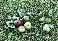 Apfelernte in Pracht zugunsten der Kita-Kinder und Senioren