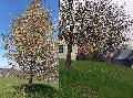 Baumsuche statt Maibaum: Isert geht in den Mai