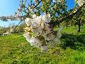 Traumpfade Streuobstwiesenweg in Mülheim-Kärlich: Wunderschöner Rundwanderweg inmitten traumhafter Blüten