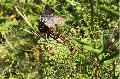 Erste Blume des Jahres 2021 für Wiesenknopf-Ameisenbläulinge gepflanzt