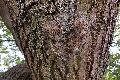 Der Eichen-Prozessionsspinner – ein Problemfalter breitet sich aus