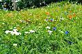 Pflege der Wildblumenwiesen im Stadtgebiet Bad Honnef